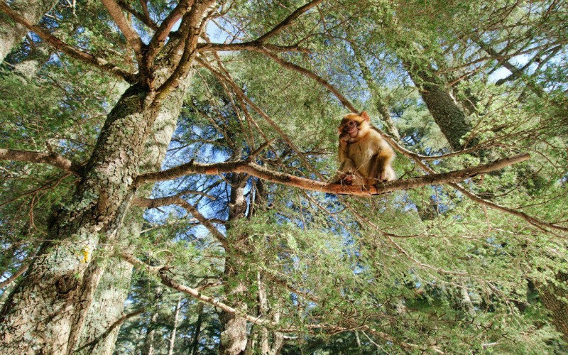 cedar forest morocco